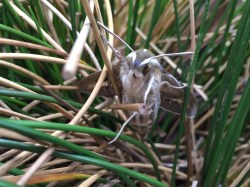 White-lined sphinx moth in wire grass
