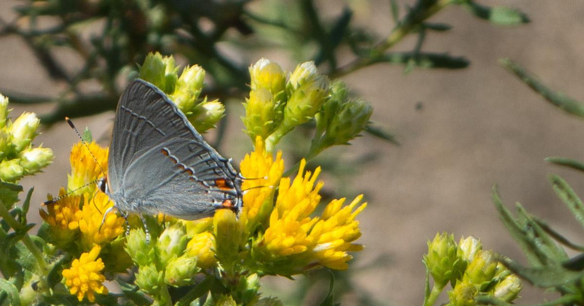 Gray Hairstreak on goldenbush