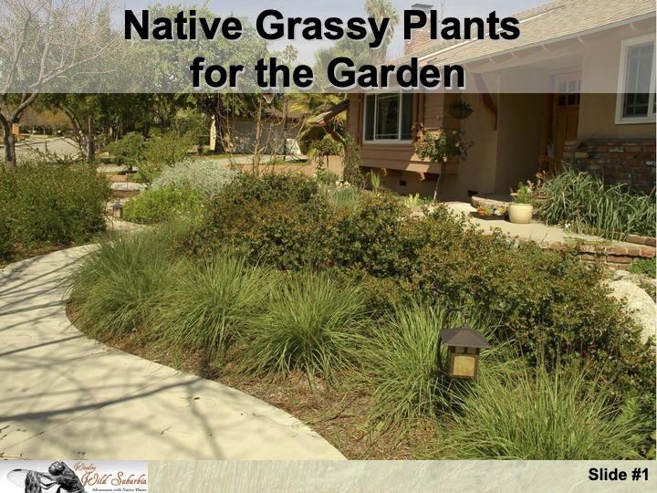 Native Grassy Plants for the Garden