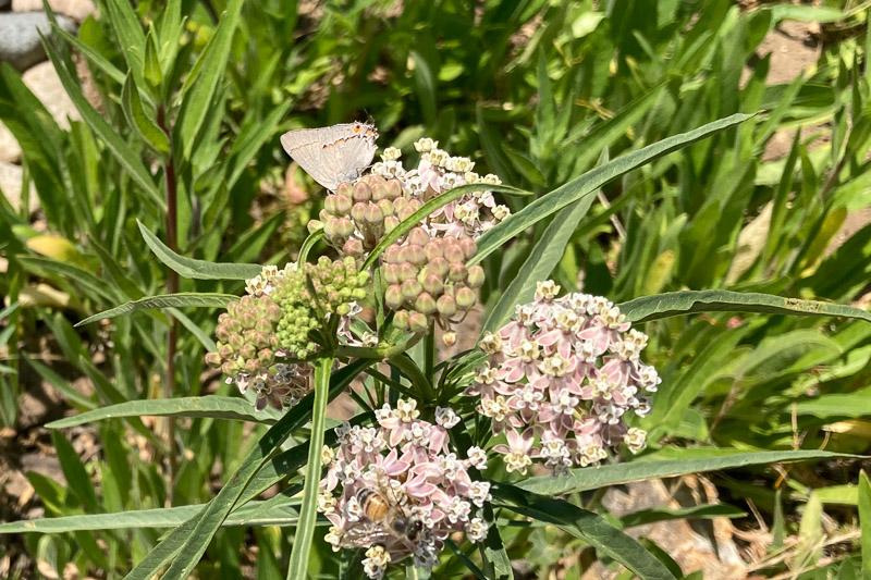 Gray Hairstreak on narrowleaf milkweed