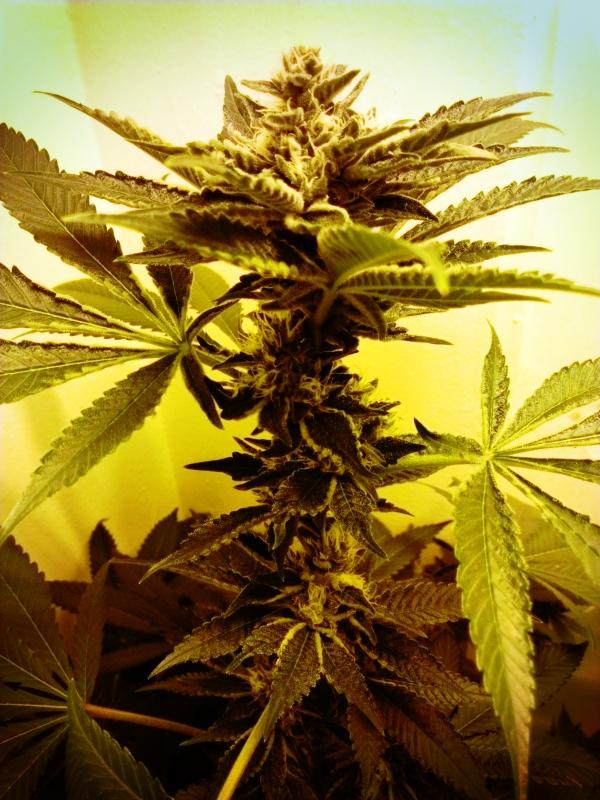 Prospero S Grow Week 10 Pruning Cannabis Weedist
