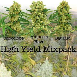 High Yield Cannabis Seeds Australia