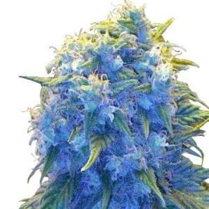 Buy Marijuana Seeds Australia