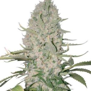 Buy Weed Seeds Australia