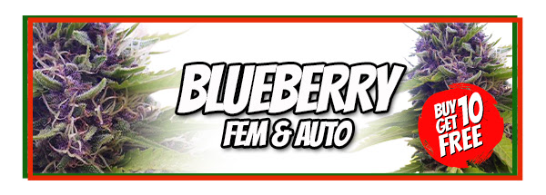 Blueberry marijuana seeds for sale