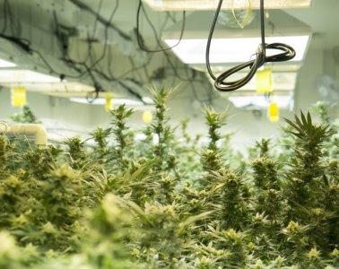 marijuana-grow02