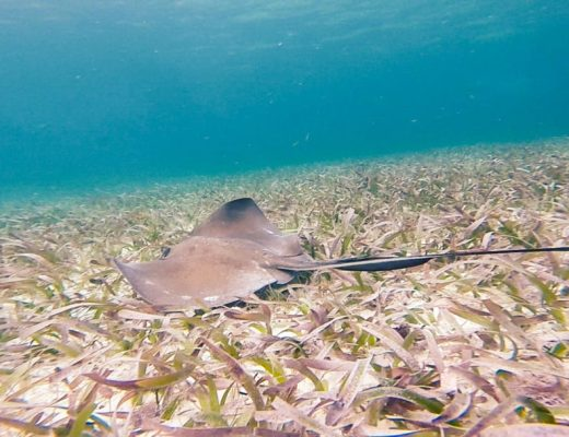 Sting Ray: Snorkelling in Caye Caulker