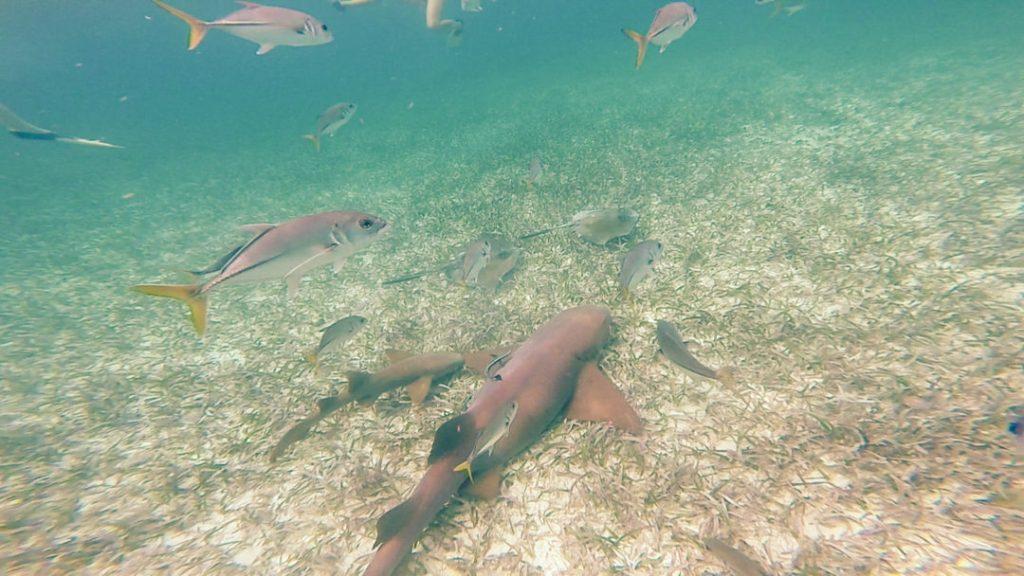 Nurse Shark: Snorkelling in Caye Caulker
