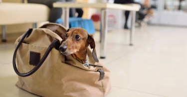 Petit chien dans un aeroport