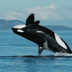 Killer whales spotted in Costa Rica VIDEO