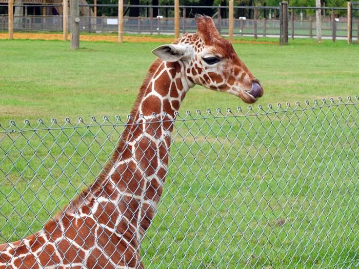 ZSL-giraffe-2