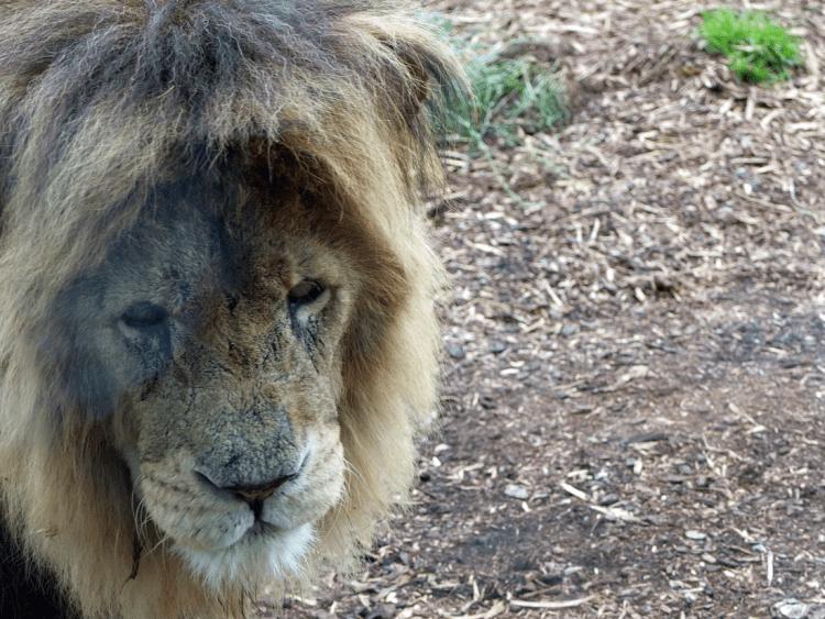 ZSL-lions-1