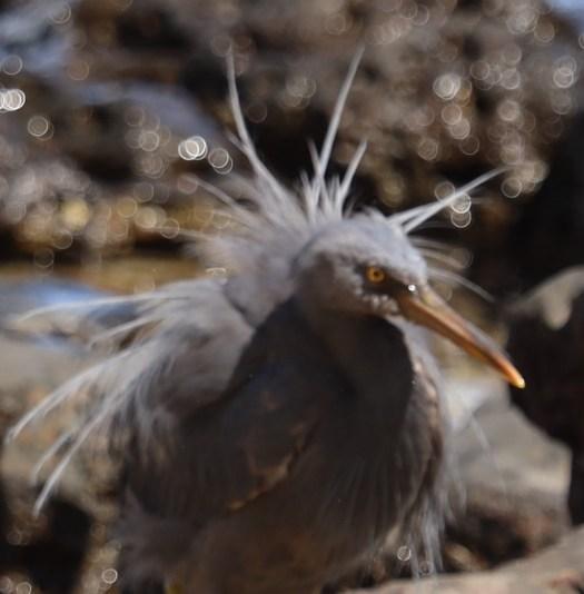 Küstenbrachvogel