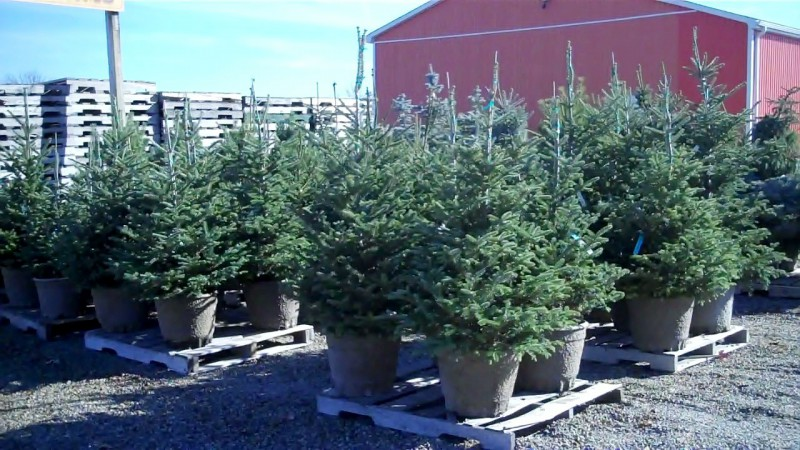 THE CHRISTMAS TREE DEBATE Real VS Fake Christmas Tree