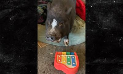 Farm Animals Evacuated From CA Fires Include Piano-Playing Pig