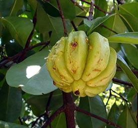 Garcinia cambogia appetite suppressor