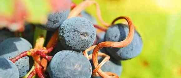 Cabernet Sauvignon Weinreben