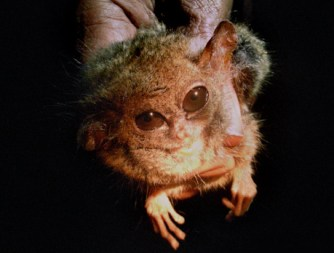 gremlin01 After 85 Years, First Gremlin Found Alive picture