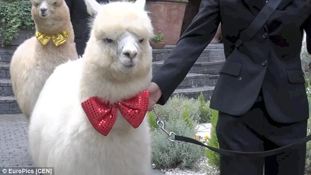 Two alpacas wear red and yellow bow-ties at wedding