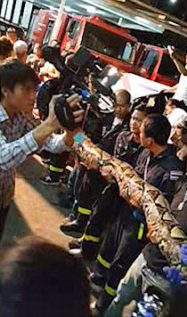 Firefighters measuring the giant snake