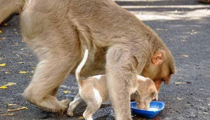 Monkey Adopts Puppy