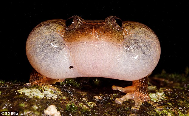 Bombay Night Frog Mating Sexual Position