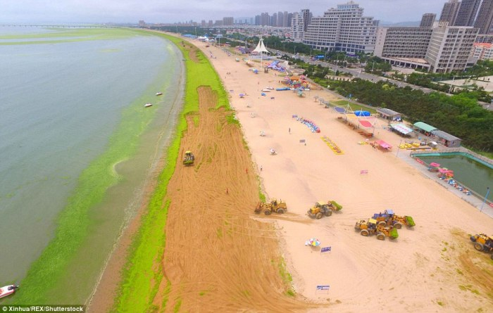 Algae bloom China beaches Yantai Qingdao