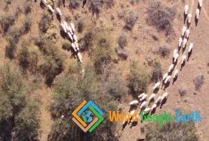 South African Sheep, South Africa