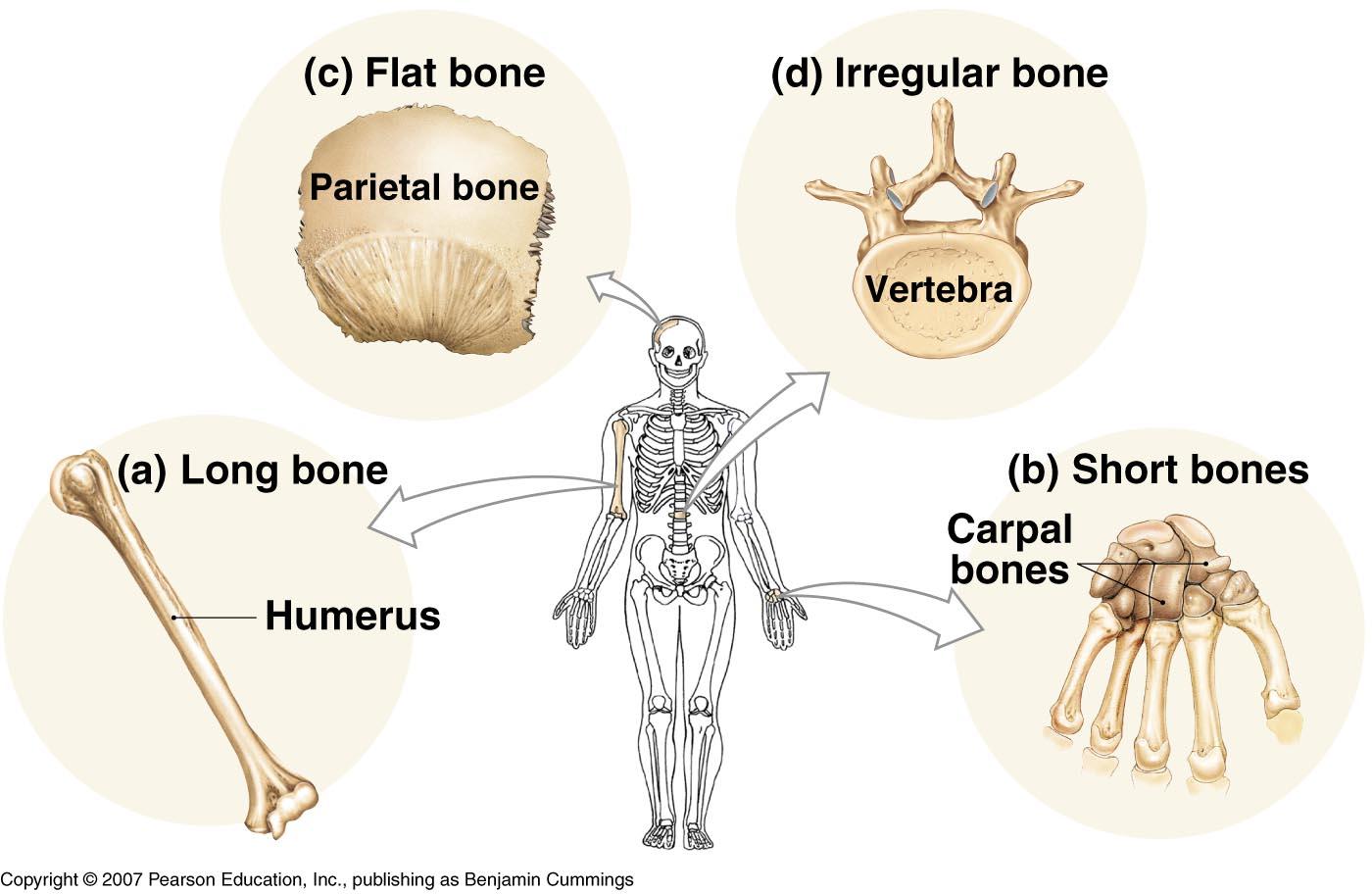 32 Label The Long Bone