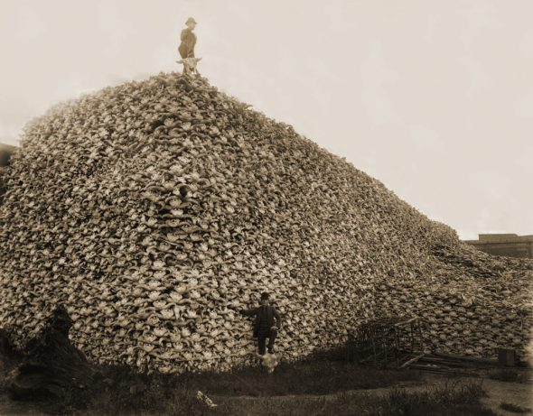 Massive mound of bison skulls to be used for fertilizer. Humanity drove the number of bison from 40-60 million to just around 1,000 by the 1900s / Image Via Burton Historical Collection, Detroit Public Library