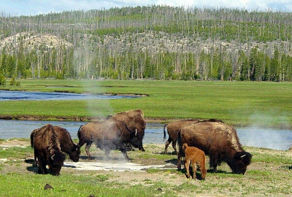 How The Bronx Saved America S National Mammal The Bison