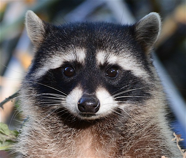 All about the Northern Raccoon | Welcome Wildlife