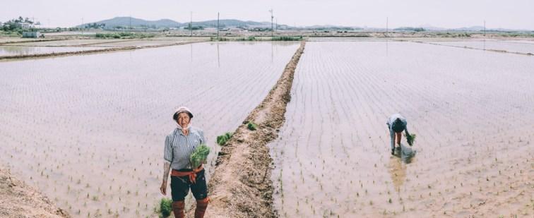 Rice Planting - Korea Photographer