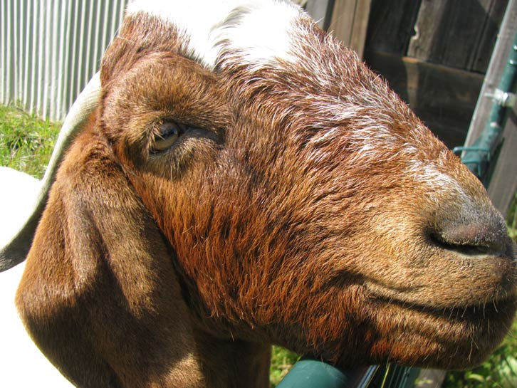 Gyro, one of several goats on yesway's and Ali's farm, is partial to dried loquat leaves.