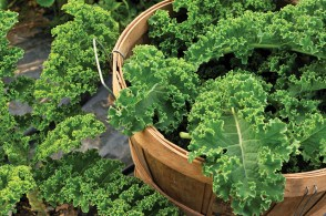 Harvested kale overflowing from a wooden basket