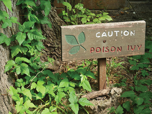 Wooden sign warning of poison ivy in a wooded area,