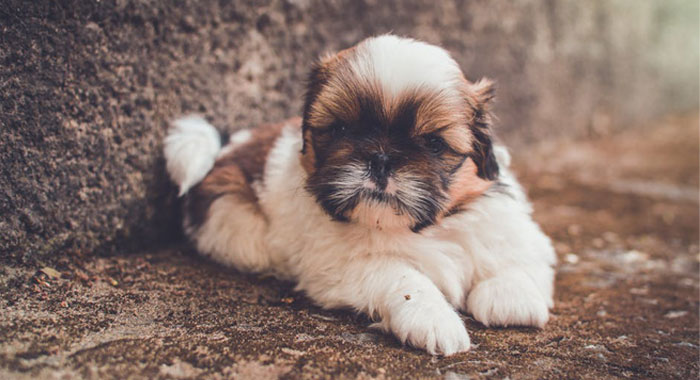 Popular Small And Toy Dog Breeds In The Uk James Wellbeloved