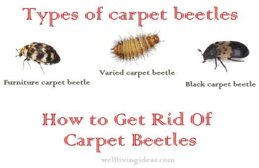 What Do Carpet Weevils Look Like Lets See Carpet New Design