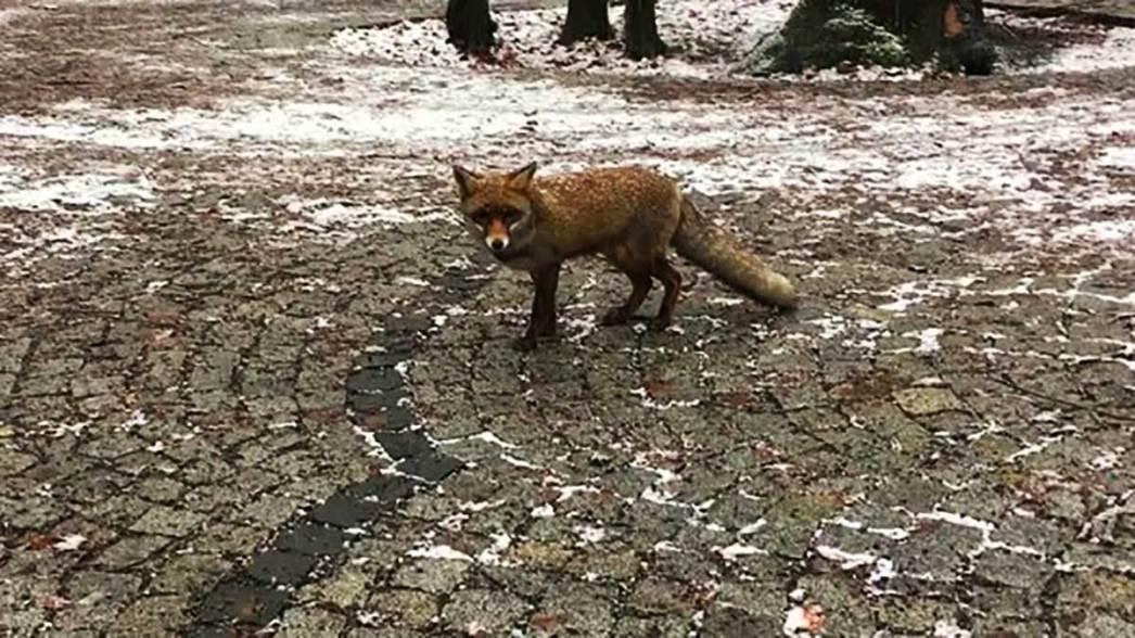 Little fox maslak istanbul