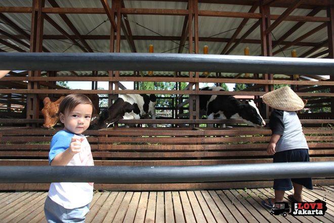 Calves at Kuntum Bogor_Quantum Nursery Bogor_Kuntum Farmfield Bogor_Tasha May_welovejakarta_we love jakarta_jakarta with kids_kids in indonesia_what to do with kids on the weekend in jakarta
