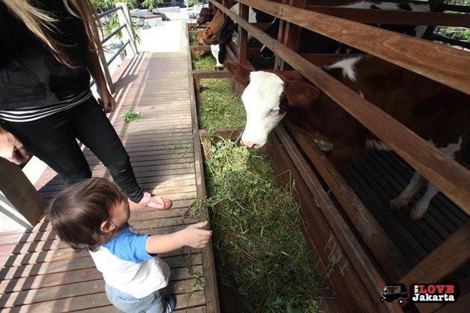 Cows at Kuntum Bogor_Quantum Nursery Bogor_Kuntum Farmfield Bogor_Tasha May_welovejakarta_we love jakarta_jakarta with kids_kids in indonesia_what to do with kids on the weekend in jakarta