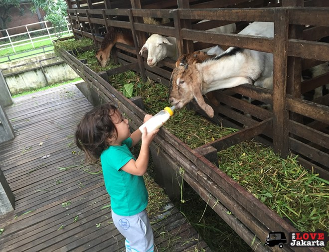 Tasha May_We love jakarta_Kuntum Nurseries_feeding goats
