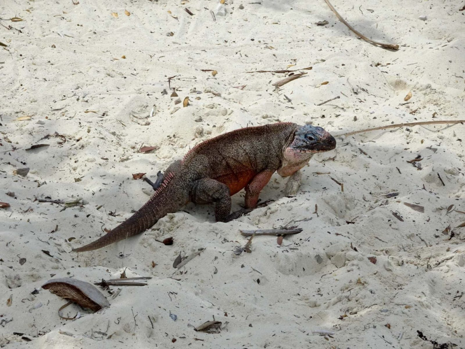 Northern Bahamian Rock Iguana