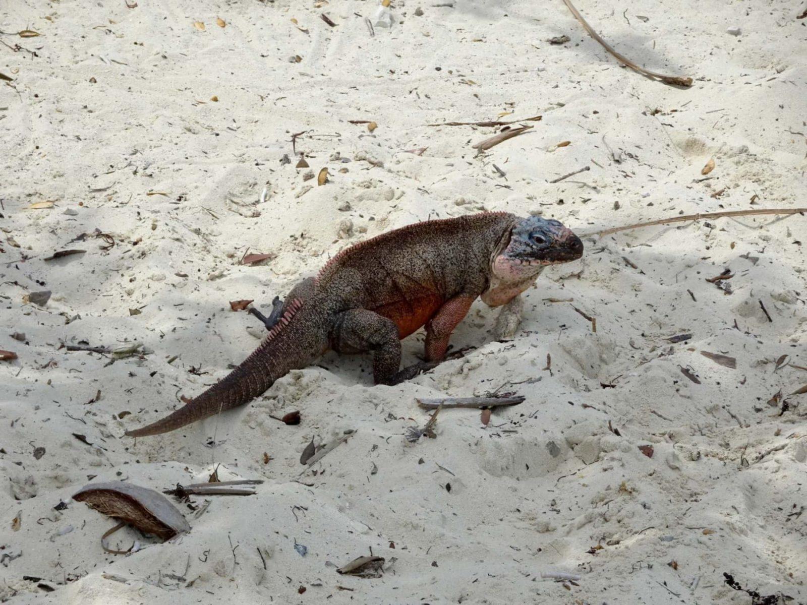 Northern Bahamian Rock Iguana