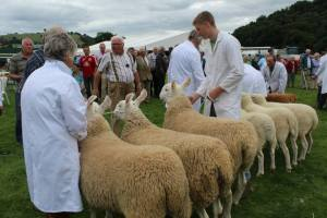 sheep class llanfyllin show