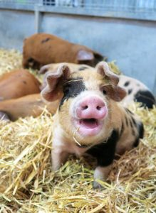pig claases at the smallholding and countryside festival