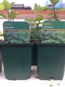 cowbridge farmers mint