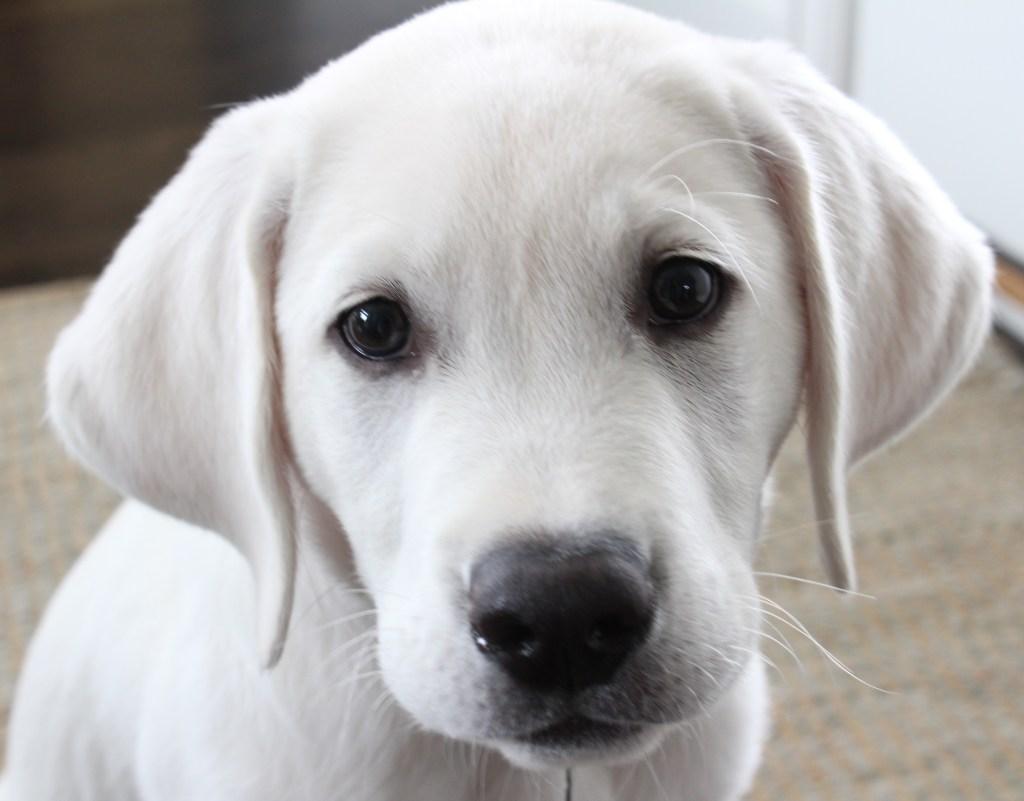 polar white lab puppy