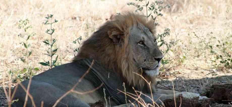 Löwe im Ruaha Nationalpark