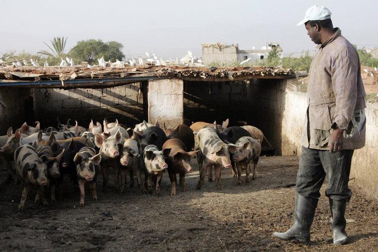 Schweinezucht in Marokko